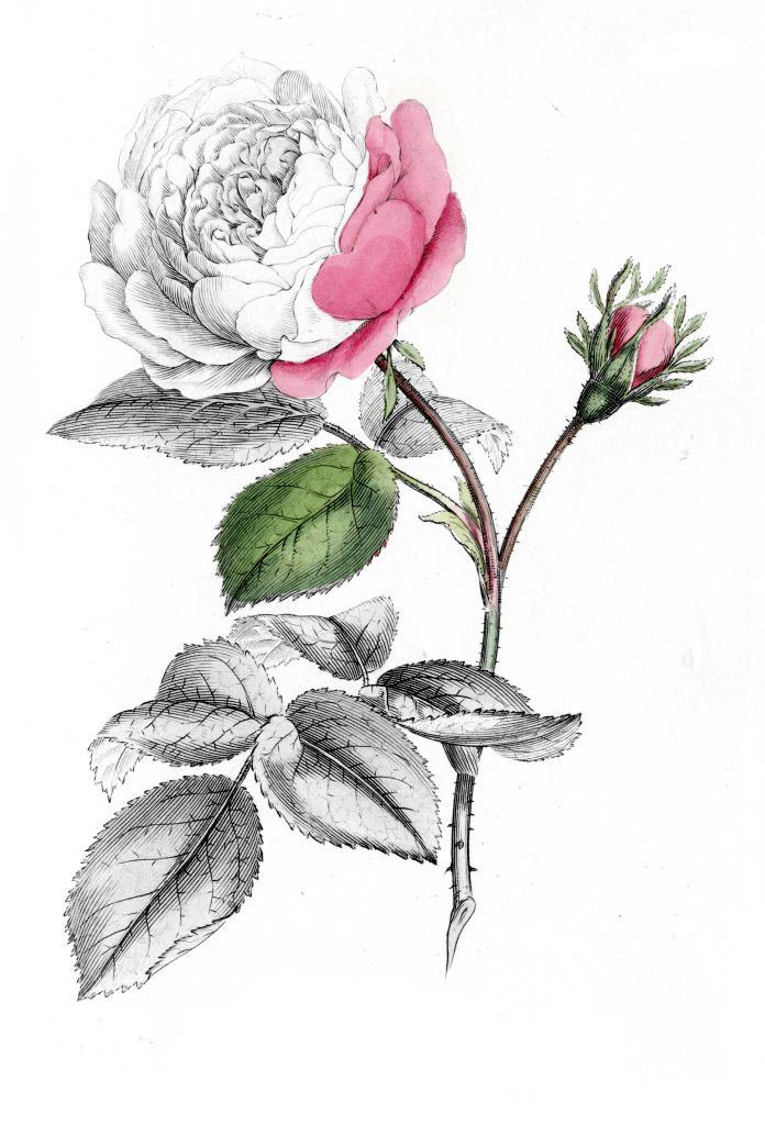 """Image of the """"Hundred-Leaved Rose"""" partially colored"""