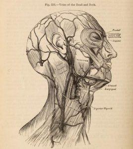 Illustration of the head