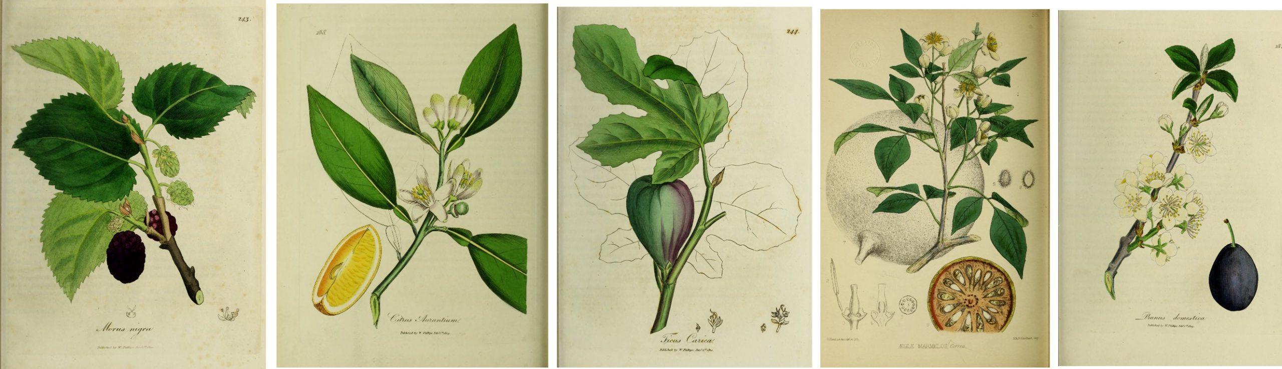 Series of handcolored botanicals: mulberry, orange, fig, orange, and plum