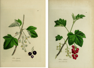 Botanical drawings of red and black currants with limbs, blossoms, and leaves