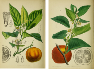 Two limbs from orange trees with orange and blossoms