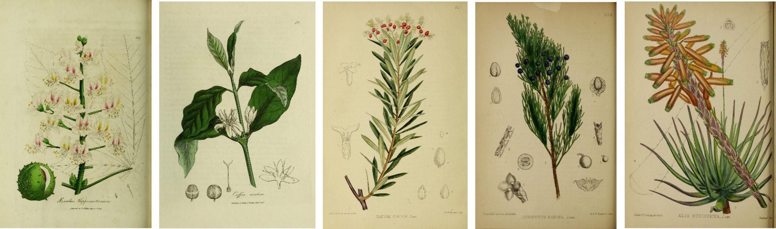 Series of botanical plates including water chestnut,  coffee, flax, juniper, and aloe.