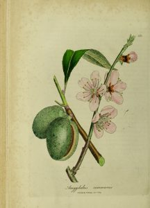 Botanical drawing of almond branch with nuts and pink flowers