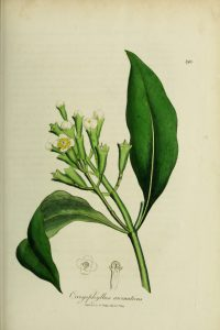 Botanical drawing of clove branch, showing leaves, flowers and clove spice