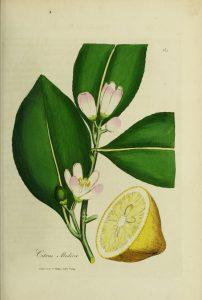 Botanical drawing of lemon tree limb, with lemon and blossoms
