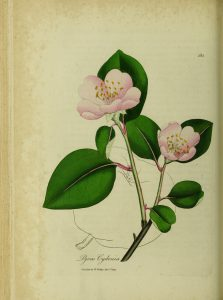 Botanical drawing of a quince with limb, leaves, and flowers