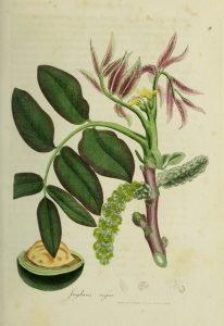 Botanical drawing of walnut branch with leaves and flowers, walnut dissected on bottom left
