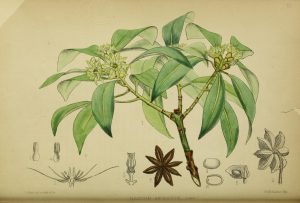 Botanical drawing of star anise, has leaves, flowers, short stem and large drawing of star anise fruit