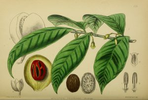 Botanical drawing of nutmeg, has stem, leaves, fruit, dissection of fruit showing nutmeg