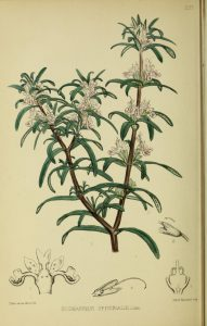 Botanical drawing of rosemary with twigs, leaves, and flowers