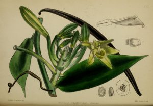 Botanical drawing of vanilla plant with leaves, vanilla pod, flowers