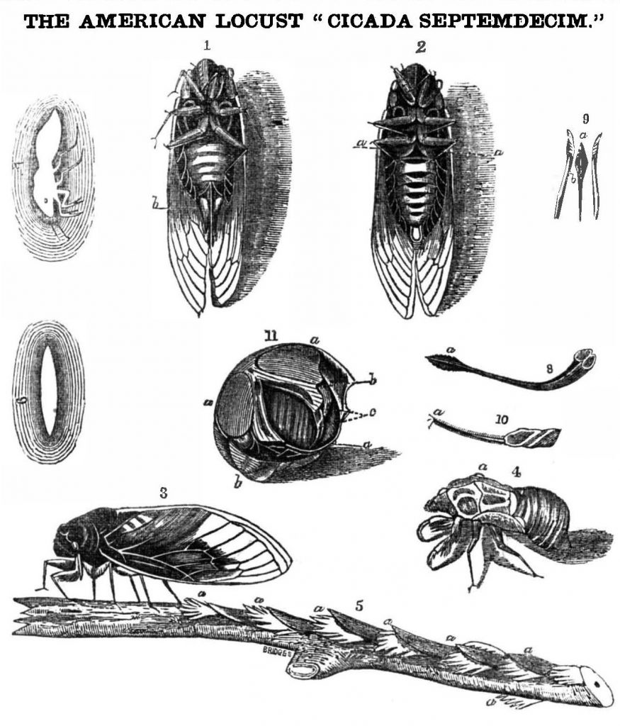 Handdrawn cicadas from larvae to full-grown winged-bug