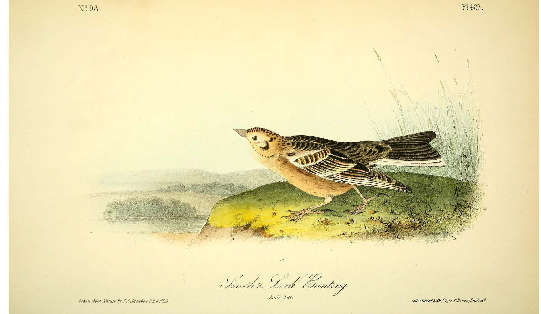 Colored drawing of a bird sitting on a grassy ledge, bird has black wings and a light brown belly